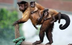 Tufted capuchin mother monkey 'Xiaxia' is seen with her two twin babies clinging to her back at a zoo in Jinan,Shandong Province, China List Of Animals, Baby Animals, Cute Animals, Monkey Pictures, Animal Pictures, Photos Singe, Monkey See Monkey Do, Monkey Style, Monkey Baby