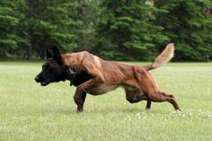 Belgian Malinois, best photography I've seen so far of they're form, incredibly versatile dog to train.