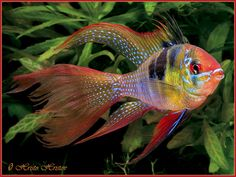 Long Fin Blue Ram Dwarf Cichlid. Microgeophagus ramirezi (Long Fin) - The ram ci