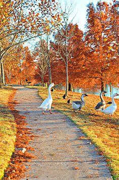 Autumn Goose walk ~ Norman, Oklahoma. http://www.annabelchaffer.com/categories/Dining-Accessories/
