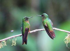 Chestnut-breasted coronet hummingbirds in Ecuador. Photo by Scott Arvickson.