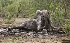 A herd of elephants have some muddy fun as the rain returns to Kruger National Park.