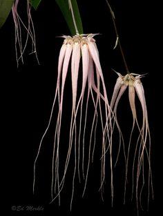 Bulbophyllium longissimum