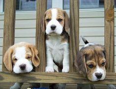 I love beagles!!!  These guys are precious.