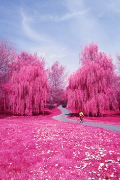 pink willows..