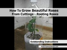 Grow Roses From Cuttings