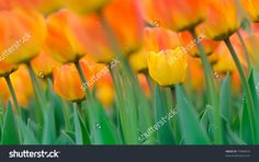 flowers tulips orange color to the sky background
