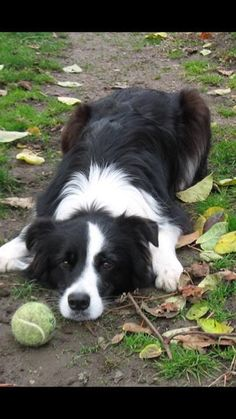 Border collie waiting to fetch. I could watch dogs play fetch all day. All Dogs, I Love Dogs, Best Dogs, Cute Dogs, Dogs And Puppies, Doggies, Australian Shepherds, Beautiful Dogs, Animals Beautiful