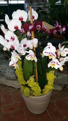 $59.95 Triple Phalaenopsis Orchid planter
