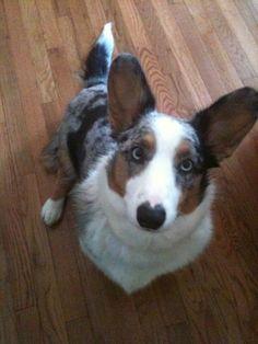 Cardigan Welsh Corgi Puppies, Corgi Dog, Dog Cat, The Cardigans, Aussie Shepherd, Aussie Dogs, Dog Mixes, Horses And Dogs, Blue Merle