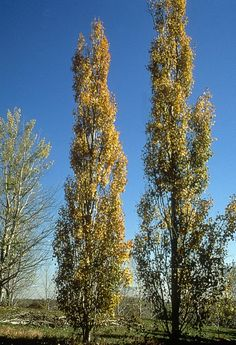 Swedish columnar aspen are perfect for a narrow space. Grows up to 40' and spreads up to 10'. Excellent orange-yellow fall color. Zone 2-7.