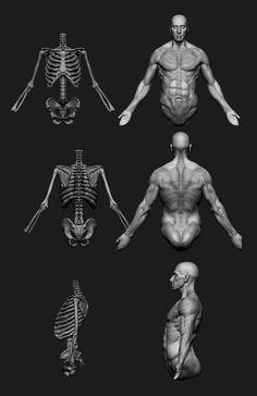 3d Anatomy, Human Anatomy Drawing, Human Body Anatomy, Anatomy Poses, Anatomy Sketches, Muscle Anatomy, Anatomy Study, Body Drawing, Zbrush Anatomy