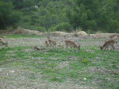 3 machos de cabra montesa y hembra con cría