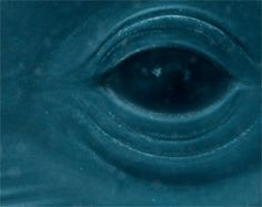 Eye of a blue whale