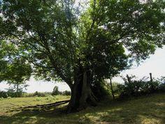 Frankrike - Bois de la Meilleraye - Frêne de la Pernière
