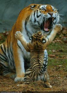 Tiger and cub:
