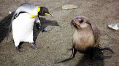 11/18/2014 - Fur seals have been caught engaging in an extreme form of sexual behaviour.  Specifically, trying to have sex with penguins - mammals attempting to mate with birds - a bizarre observation - sign of some new stressor?