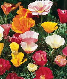 Sunset Mixed Colors Poppy California Seeds and Plants, Annual Flower Garden at Burpee.com