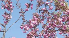 15 Minute Mediation with Cherry Blossoms, Blue Sky, and Singing Birds - YouTube