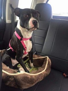 Hercules is an adoptable Boxer searching for a forever family near White Plains, NY. Use Petfinder to find adoptable pets in your area.