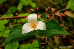 Trillium are blooming in the forests around Mount Hood!