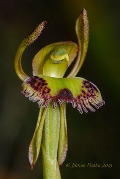 Fringed-Hare-Orchid: Leporella fimbriata, The Pines FFR, Victoria, Australia.- Flickr - Photo Sharing!