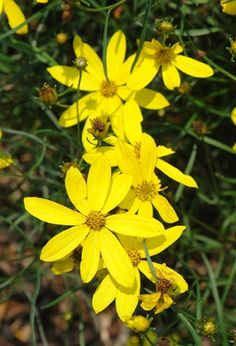 Coreopsis (tickseed)