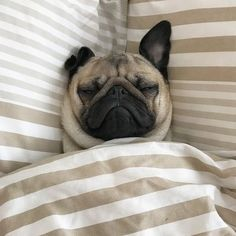 Adorable Pugs need their beauty sleep. Now it's time for us to take a look at something that will make us all smile…Pugs sleeping in hilarious positions. Cute Pug Puppies, Black Pug Puppies, Puppies And Kitties, Cute Dogs, Baby Pugs, Silly Dogs, Pug Love, Boxers, Dog Lovers