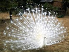 What is this?  An albino peacock?  Amazing!  So pretty, as if lit up by LED lights.