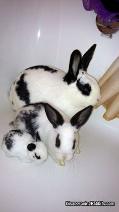 Economy, Regular, and Travel sized bunnies