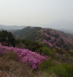 Azaleas in full bloom | #Ganghwa Island, Korea (May 5, 2013)