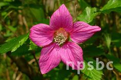 Rubus spectabilis (Salmonberry).  Underplant with sword fern or fireweed. Red, yellow, orange edible berries