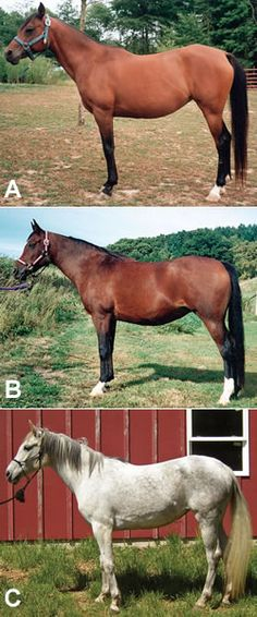 Conformation Clinic: Aged Arabian Mares