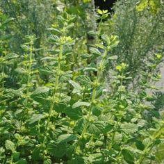 CITRONMELISS i gruppen Krydd- och Medicinalväxter / Kryddväxt / Första kryddodlingen hos Impecta Fröhandel (3025)