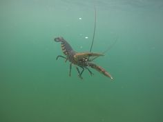 Lobster swimming to freedom; V notched and save to breed uncaught until the V mark grows out