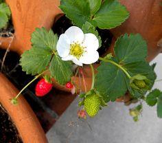 strawberry pot - Google Search