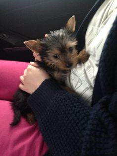 8 week old miniature yorkie puppy.