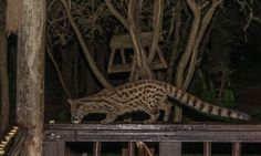 Genet on the deck