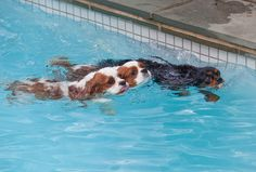 Cavalier King Charles Spaniel - It's A Race! by jhdrought on Flickr.