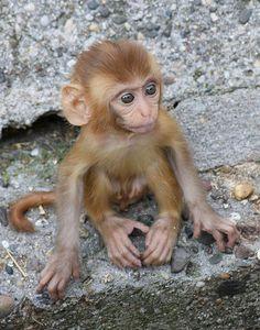 It is a baby rhesus monkey