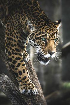 "souhailbog: ""  Stalking Cat By Paul E.M | More """