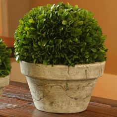 Boxwood Topiary- love the pot! is it just white washed?