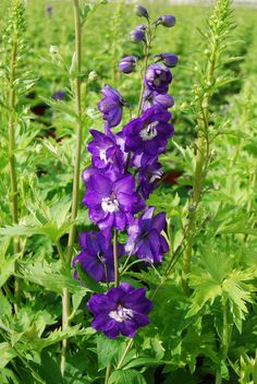Related image butterfly bee hummingbird garden pinterest related image butterfly bee hummingbird garden pinterest delphinium flowers delphiniums and bonsai mightylinksfo