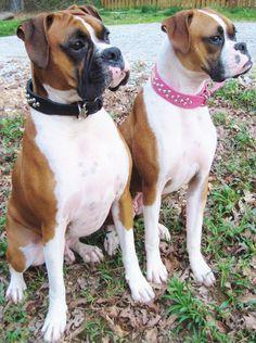 Amazing Boxer Puppy Accessories White Boxer Dog Facts Source by The post White Boxer Dog Facts appeared first on Hannah Dogs. White Boxer Dogs, Boxer And Baby, Boxer Love, Boxer Dogs Facts, Dog Facts, Cute Boxer Puppies, Dogs And Puppies, Doggies, I Love Dogs