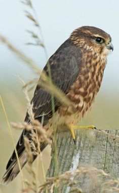 Merlin ( a small species of falcon)