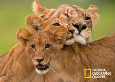 Foto's Leeuwen in Okavango - The Last Lions - National Geographic Channel - Nederland National Geographic Photography, Wildlife Photography, Animal Photography, Safari, Lion Story, World Lion Day, Lioness And Cubs, Baby Animals, Cute Animals