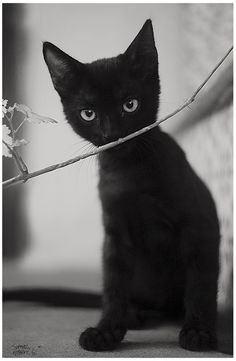 Sweet Black Kitty! Looks like Batman when he was a baby!