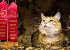 """5. Washington - Average Joe Kedi Şovu  Yeteneklerini sergilemek ve ödül kazanmak için her yıl onlarca kedi sahibi tarafından bu şovun yapıldığı Washington'a getiriliyor. Sevimli dostlarımız çeşitli kategorilerde yarışırken siz de onları seyretme keyfini çıkarabilirsiniz. Ödüller arasında """"En yüksek sesle miyavlama"""" ve """"En etkileyici kulak tüyü"""" gibi kategoriler bulunuyor."""