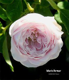 Marie Dermar - Old Garden Roses - Roses - Heirloom Roses