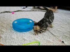 Snow Mink Boy 1 - Hazel's Boy 1 Bengal Kittens For Sale, Kitten For Sale, Cattery, Mink, Snow, Pets, E Tattoo, Human Eye